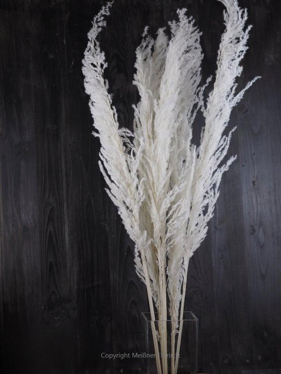 weißes Pampasgras